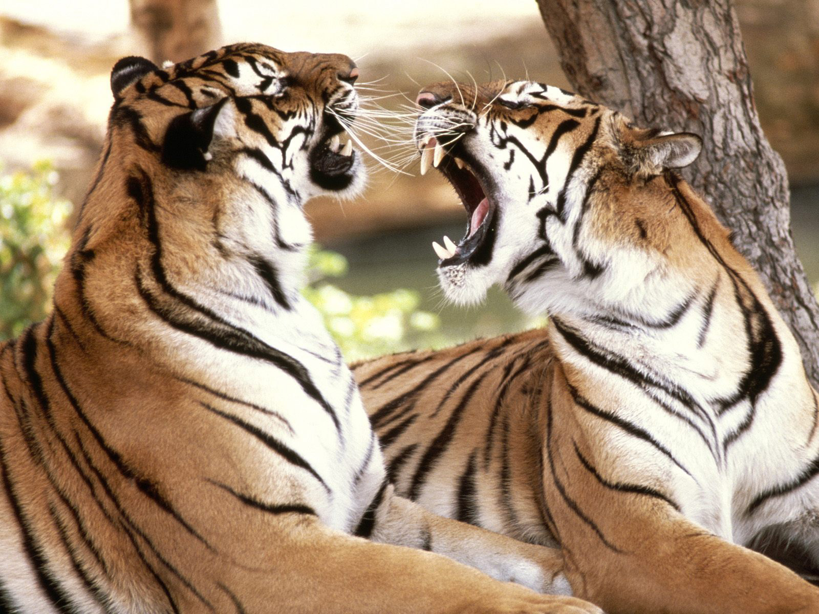 royal-bengal-tigers